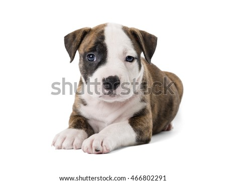 Puppy Staffordshire Terrier on white background in Studio