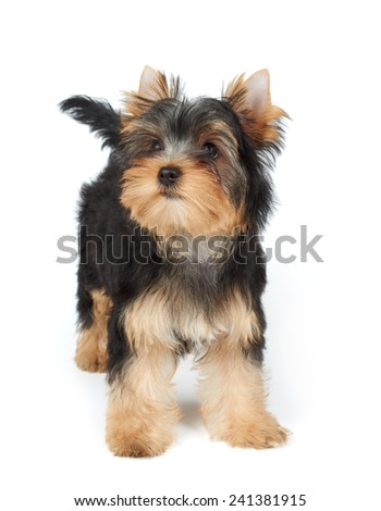 Puppy stands on the white background. Yorkshire Terrier - stock photo