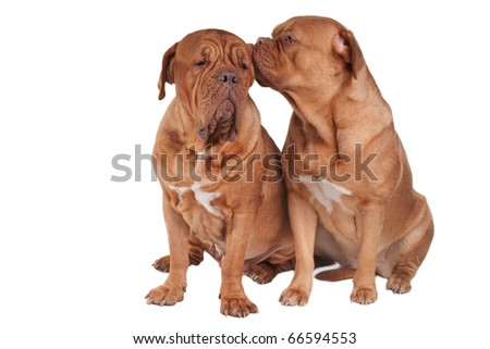 Puppy Telling It's Secrets To Adult Dog - stock photo