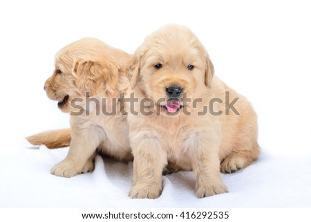 Puppy towel on a white background.Baby dog breed Labrador is a lovely bright