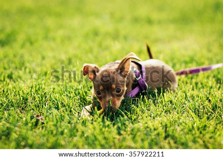 Puppy toy terrier lying n the grass