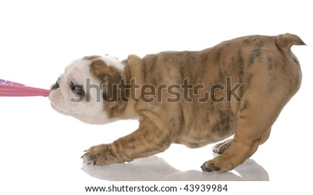 puppy tugging - nine week old english bulldog puppy tugging on pink fabric - stock photo