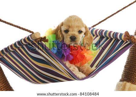 puppy vacation - cute cocker spaniel puppy wearing hawaiian lei sitting in hammock - stock photo