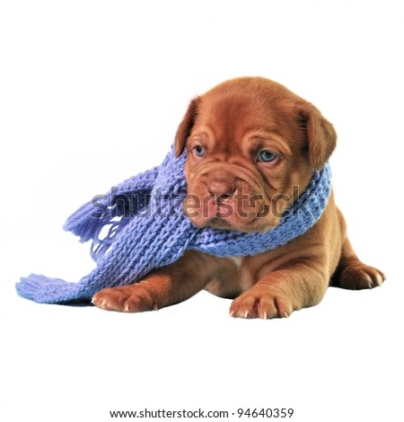 Puppy wearing scarf isolated - stock photo