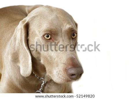 puppy Weimaraner head portrait - stock photo