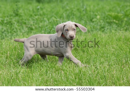 Puppy weimaraner running and looking - stock photo