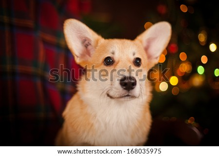 Puppy, Welsh Corgi, Christmas and New Year - stock photo