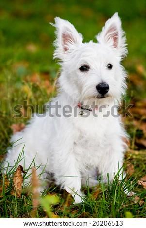 Puppy West highland white terrier - stock photo