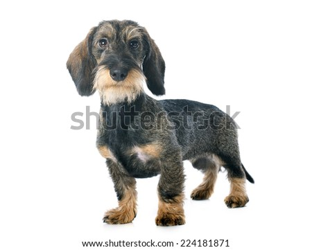 puppy Wire haired dachshund in front of white background - stock photo