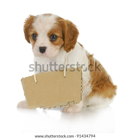 puppy with a message - cavalier king charles spaniel puppy with sign around neck - 7 weeks old - stock photo