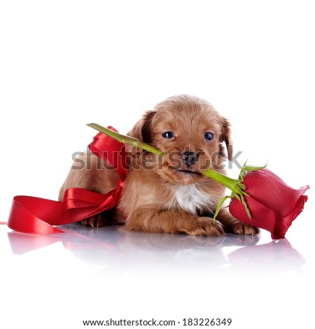 Puppy with a red bow and a rose. Puppy of a decorative doggie. Decorative dog. Puppy of the Petersburg orchid on a white background - stock photo