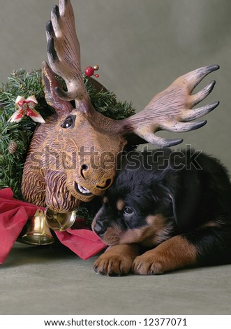 puppy with moose - stock photo