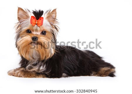 Puppy York lies and looks into the camera (isolated on white) - stock photo