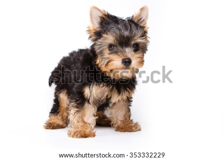 Puppy York stands and looks at the camera - stock photo
