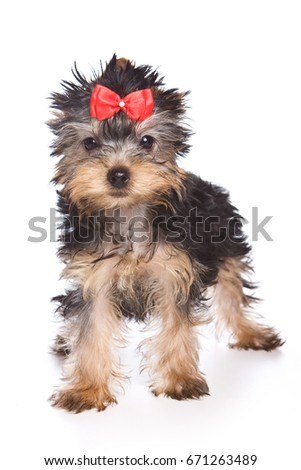 Puppy York with bow (isolated on white)