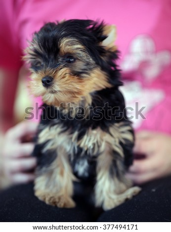 puppy Yorkshire Terrier black and white color