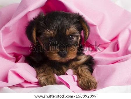 puppy Yorkshire terrier close-up in pink cloth