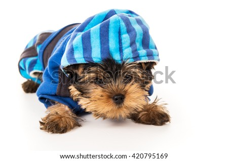 Puppy yorkshire terrier in suit for dogs isolated - stock photo