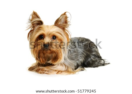 Puppy yorkshire terrier isolated on white - stock photo