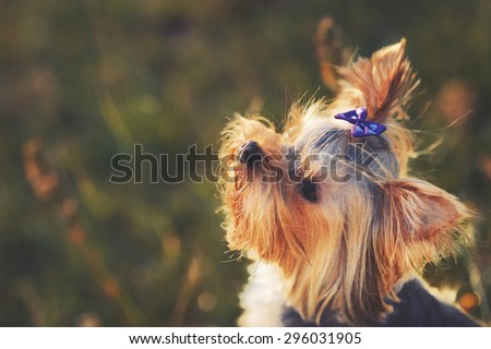 Puppy yorkshire terrier outdoor with bow-tie on head in sunset light.  - stock photo
