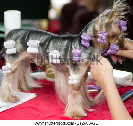 Puppy yorkshire terrier with rollers - stock photo