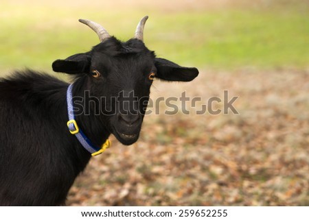 Pure black coated goat nanny with bright yellow eyes and horns watching waiting looking while smiling and ears forward wearing a collar outside in a field - stock photo