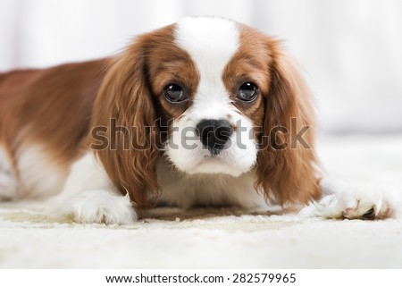 pure-bred dog, puppy Cavalier King Charles Spaniel, lie  - stock photo