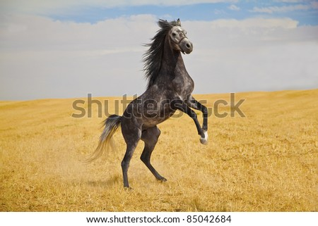 Pure breed Arabian horse standing on a golden field - stock photo