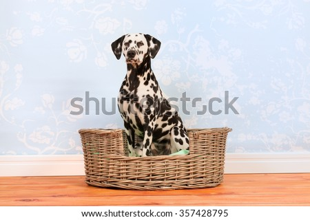Pure breed Dalmatian dog sitting in animal bed - stock photo