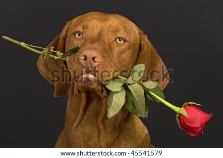pure breed dog holding a rose stem in mouth - stock photo