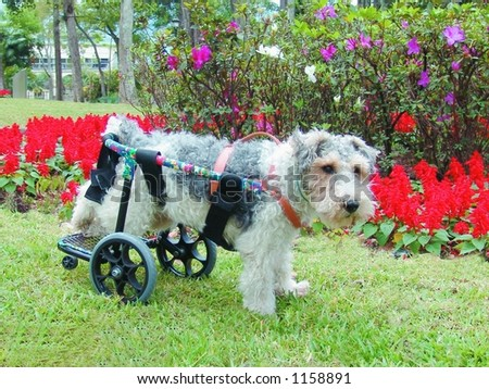 Pure breed fox terrier in a wheelchair - stock photo