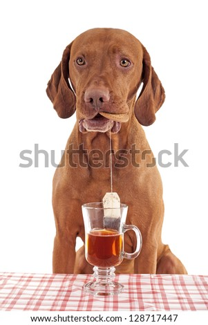 pure breed gold colored vizsla dog dipping tea bag in cup of water while holding a biscuit in mouth on white background