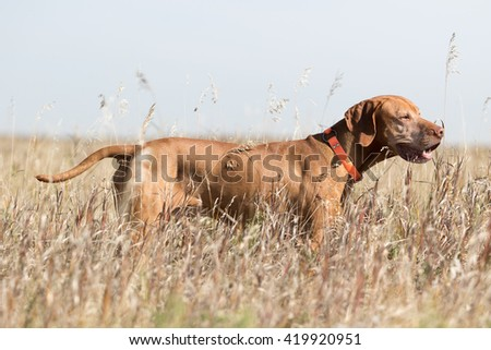pure breed golden hunting dog standing in tall grass - stock photo