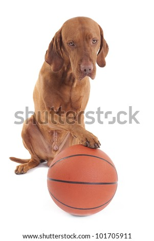 pure breed hunting dog with basketball on white background - stock photo