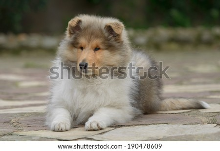Pure breed male rough collie puppy - stock photo