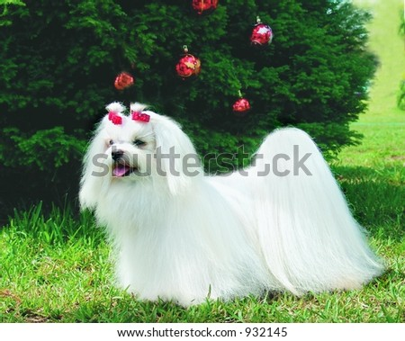 Pure breed maltese dog with Christmas decoration - stock photo
