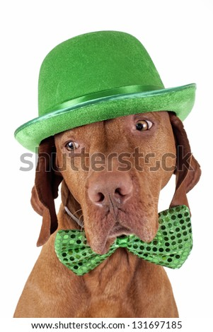 pure breed pointer dog wearing green Irish hat and bow tie isolated on white background - stock photo