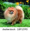 Pure breed Pomeranian or german spitz dog standing and smiling - stock photo