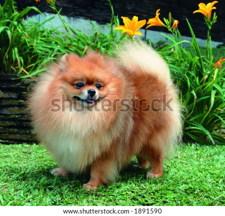 Pure breed Pomeranian or german spitz dog standing and smiling