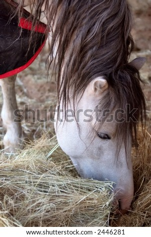 pure breed racehorse eating - stock photo