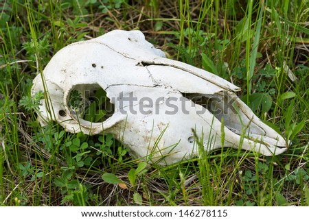 Pure dead red deer skull  - stock photo