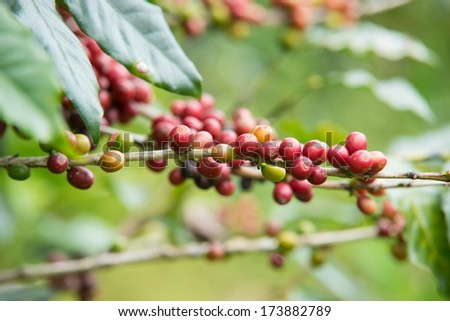Pure red bunch of coffee seeds - stock photo