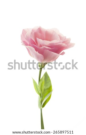 Pure romantic pink rose with fresh leaves isolated on white - stock photo