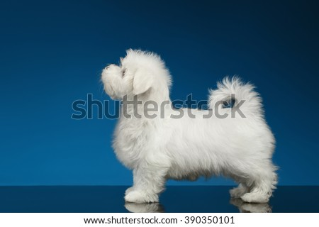 Pure White Maltese Puppy Standing and Looking up, Profile view,  isolated on blue background - stock photo