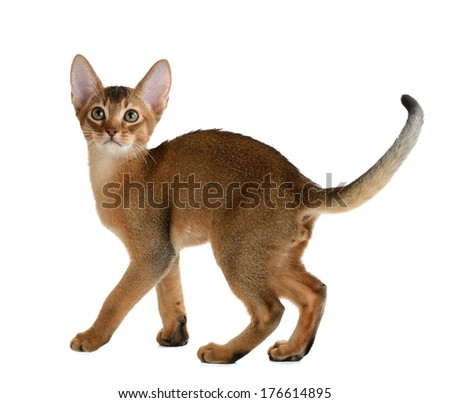 Purebred abyssinian kitten isolated on white background - stock photo