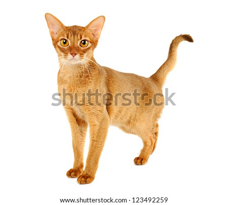 Purebred abyssinian young  cat isolated on white - stock photo