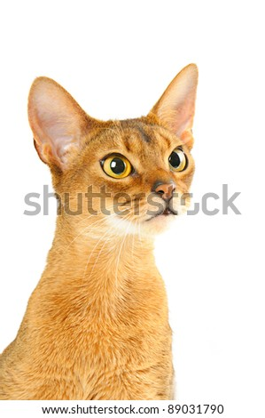 Purebred abyssinian young  cat portrait isolated on white - stock photo
