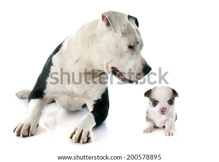 purebred american staffordshire terrier and puppy chihuahua in front of white background