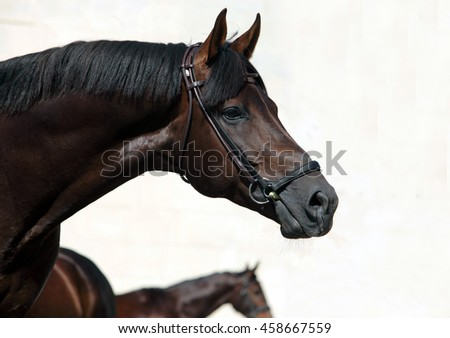 Purebred Arabian Horse, portrait of a bay mare with bridle