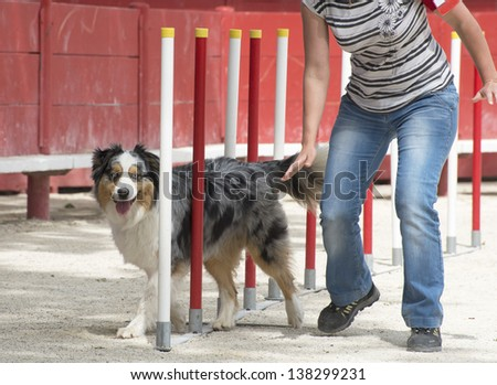 purebred australian shepherd  in a competition of agility - stock photo